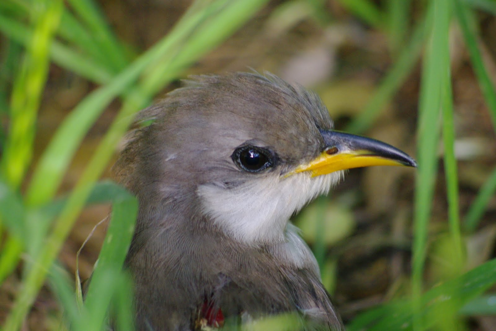 garden and trail : baby yellow-billed cuckoo