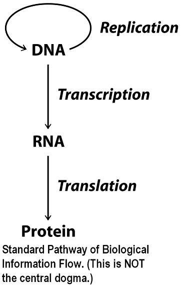 Sandwalk: Eukaryotic RNA Polymerases