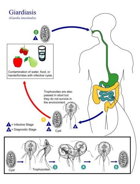 giardia az emberi kezelésben