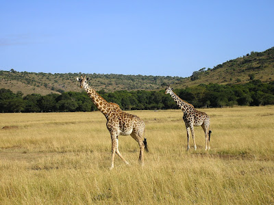 Girafe in Masai Mara