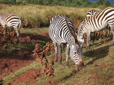 Imagini Serengeti: zebre