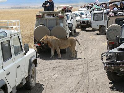 Leu printre masini de safari