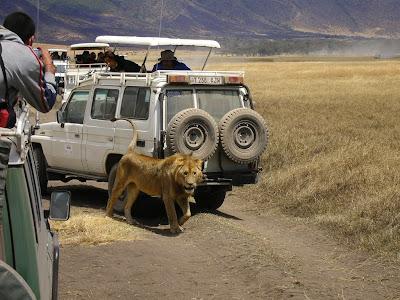 Leu in craterul Ngorongoro, Tanzania