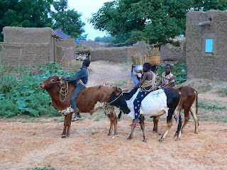 Imagini Mali: copii calare pe vaci in Pays Dogon