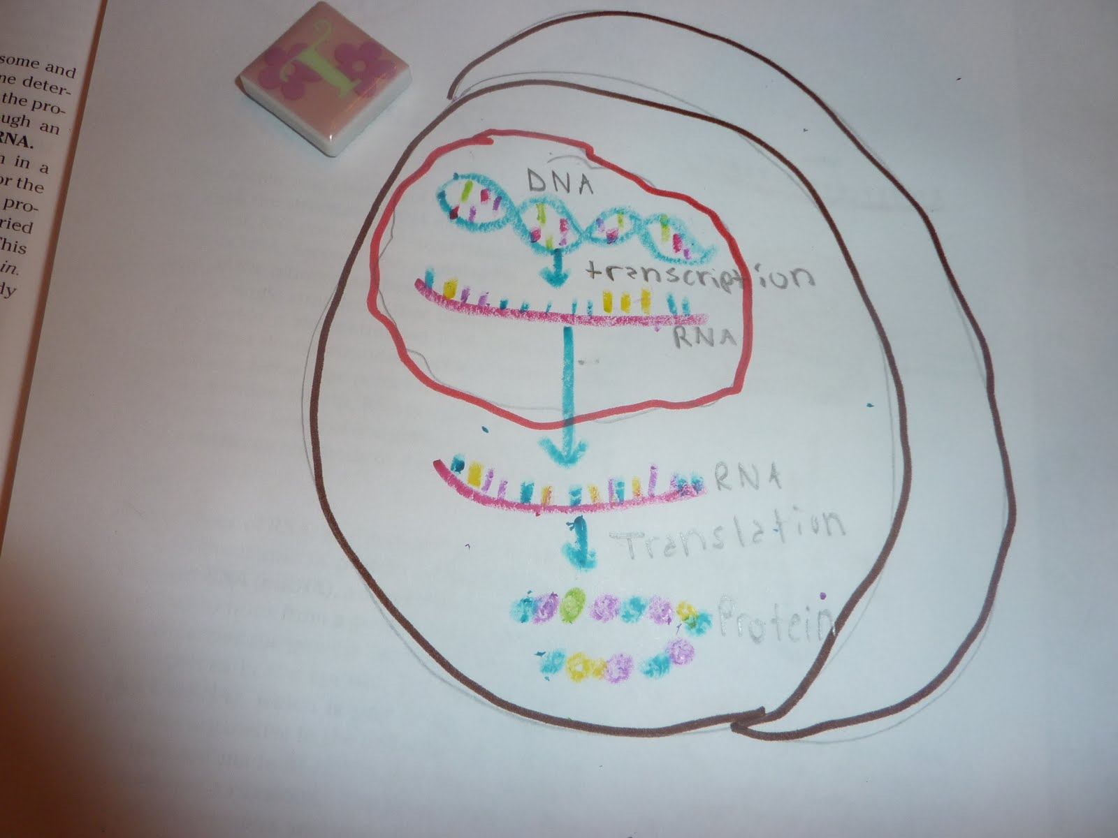 Biology Final 33 Cell That Can Undergo Protein Synthesis
