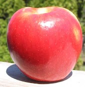 Red conical apple with yellow patch on the side