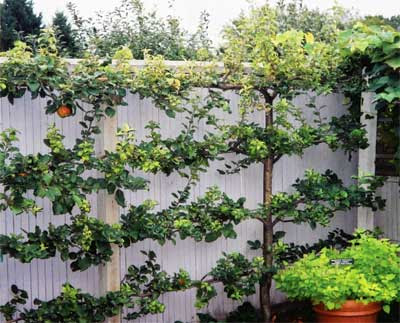 A Lesson In Espalier