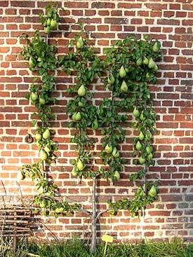 Espalier fruit trees: Art of Espalier Fruit Trees