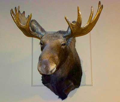 http://2.bp.blogspot.com/_Dn3XiQHZSsE/TD0OWuPcVxI/AAAAAAAAAdY/bnp0uewAEKM/s1600/moose_head.jpg