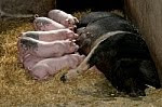 Cinco porquinhos mamando na porca