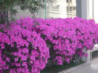 belíssimas azaleias na área lateral de um prédio em BH