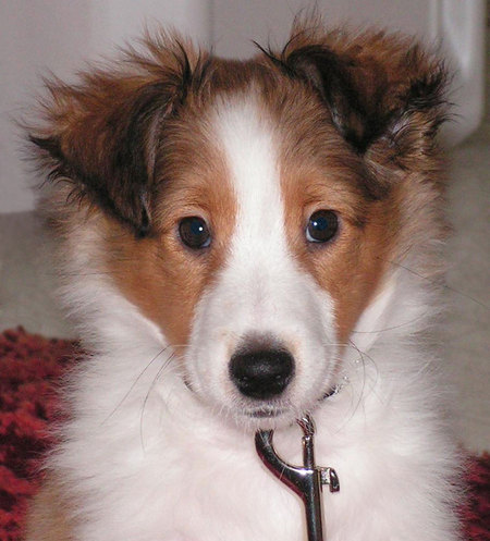 shetland terrier shetland sheepdog popular dog breeds 7040