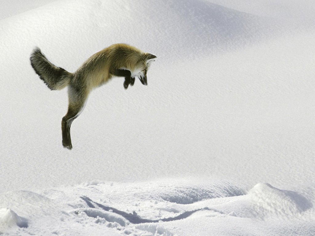 High Definition Photo And Wallpapers Dogs Red Fox Jumping