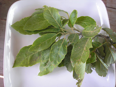 Image result for beans with avocado leaves