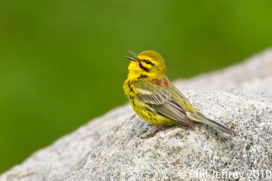 Phil Jeffrey's Bird Photography: Prairie Warbler, Stirling ...
