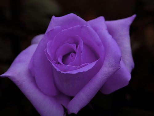 Black Rose: Purple Roses Primarily Stand  One