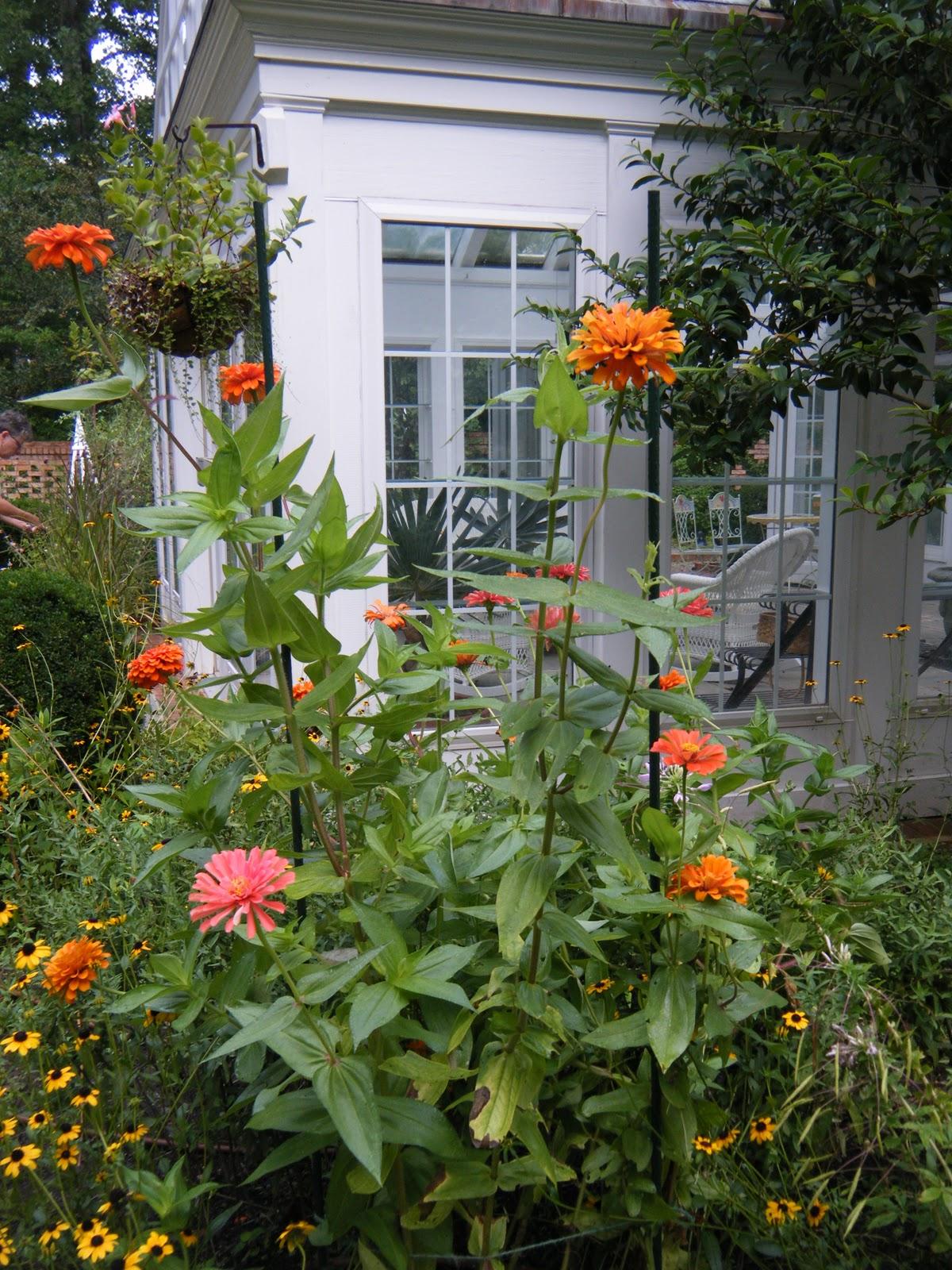 Chef Garden: A Chef In The Garden: Benary's Giant Zinnias