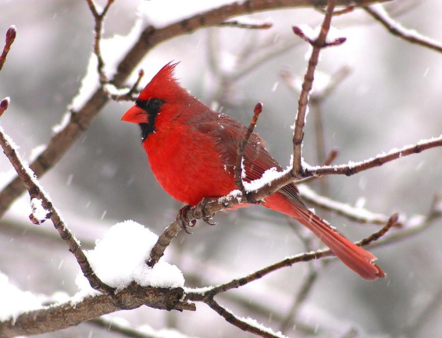Neal 39 s pensieve the feeder - Pictures of cardinals in snow ...
