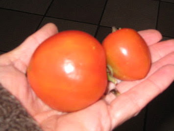 My last 2 toms from 2009,kitchen window sill ripened.