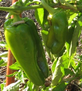 Peppers are still producing with 2 almost ready to pick.