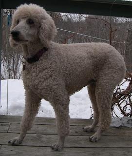 Maine Poodle Rescue