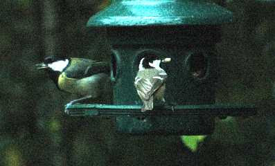 Great tit Parus major (left) and coal tit Parus ater (right).  The great tit is larger with a black bib and a full stripe on the belly.  The coal has a distinctive white spot on the nape and double white wing-bars.