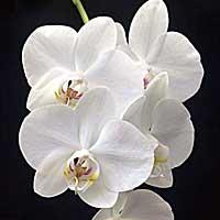 Orqudea Phalaenopsis Alba