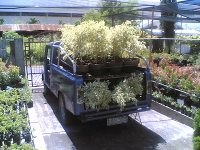 ALAVERDE 33: Transferring trees and cypress to my garden