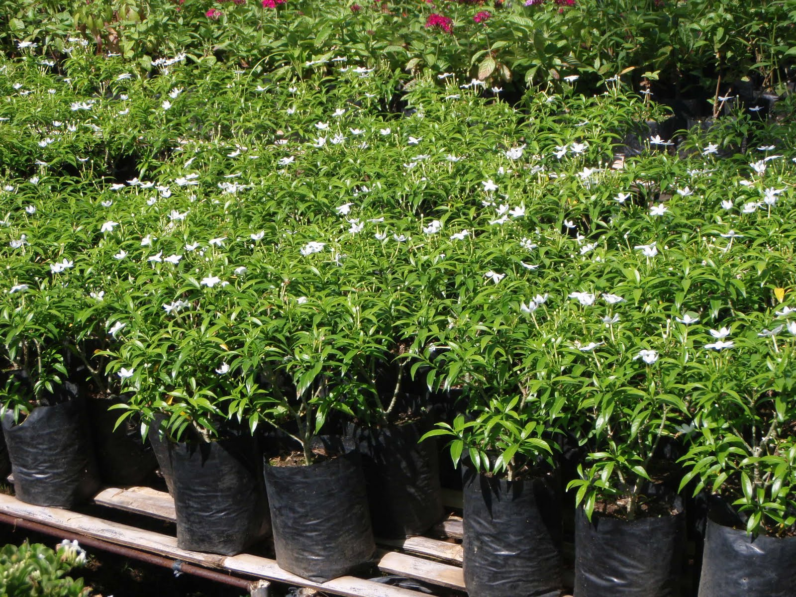 Garden Bush: ALAVERDE 33: These Are The Plants That I Have In My Garden