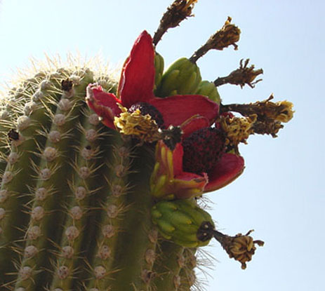 Tucson Daily Happenings: The Saguaro Cactus Flower is the ...