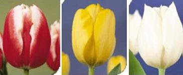 Foto%C4%9Fraf+1.1+%C3%87e%C5%9Fitli+renkte+laleler