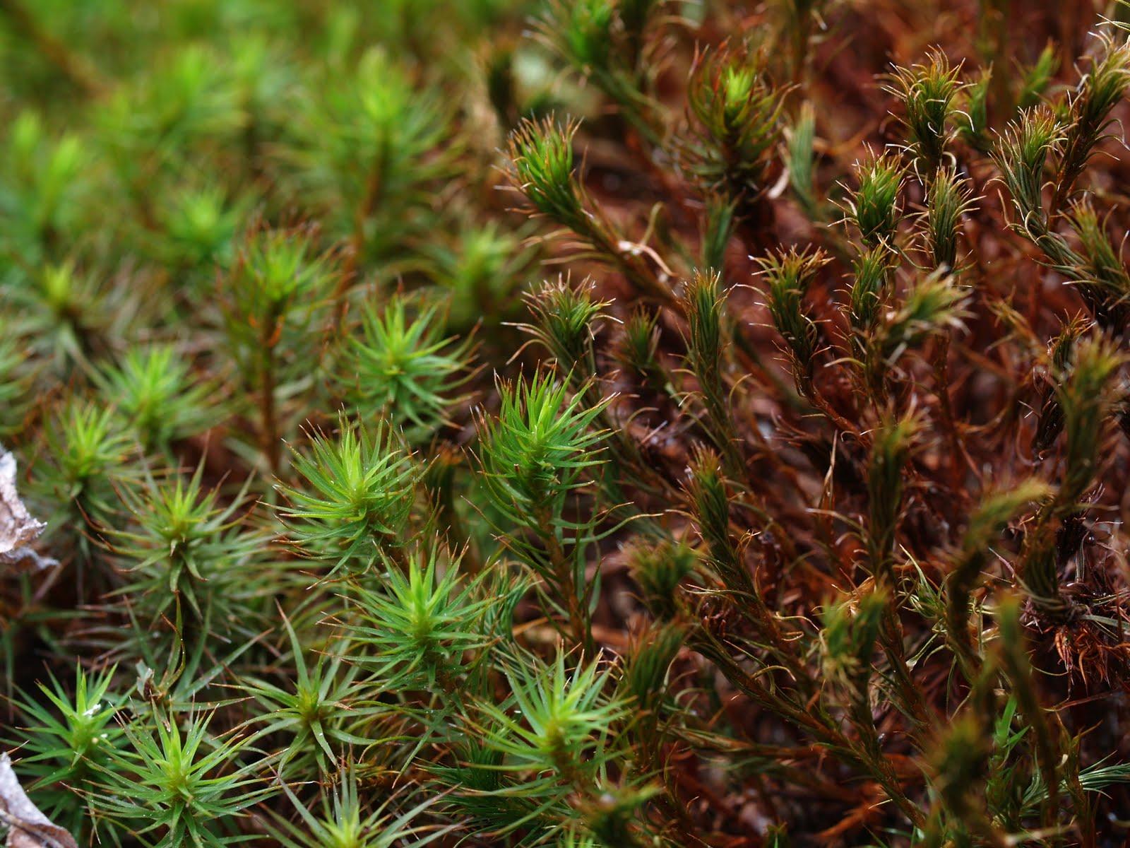 hight resolution of winter mosses 2009
