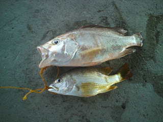 GOLDENSON Pancing Amatur Penang: Ikan Merah Bawah Jambatan