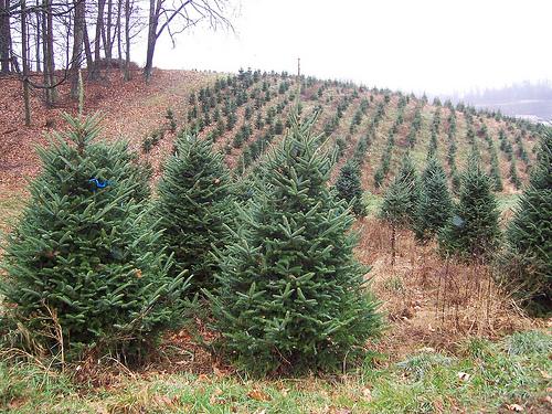 Veggie Revolution: Christmas Tree Debate: Is Fake Or Real