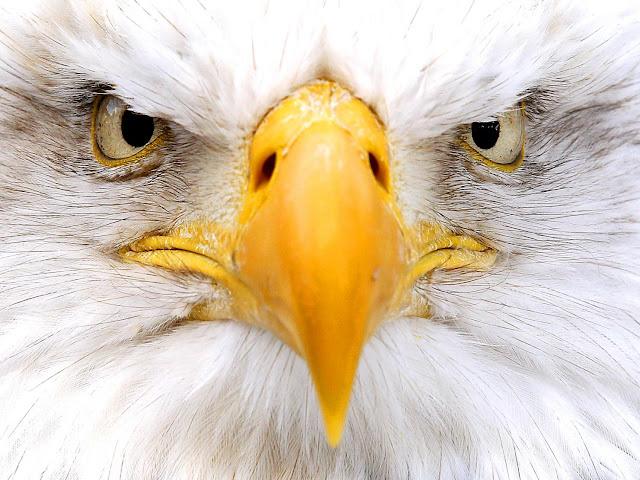 Resultado de imagem para eagle face
