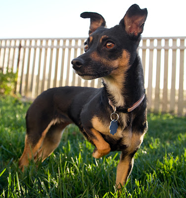 min pin chihuahua windy city canine rescue molly min pin chihuahua cross 3500
