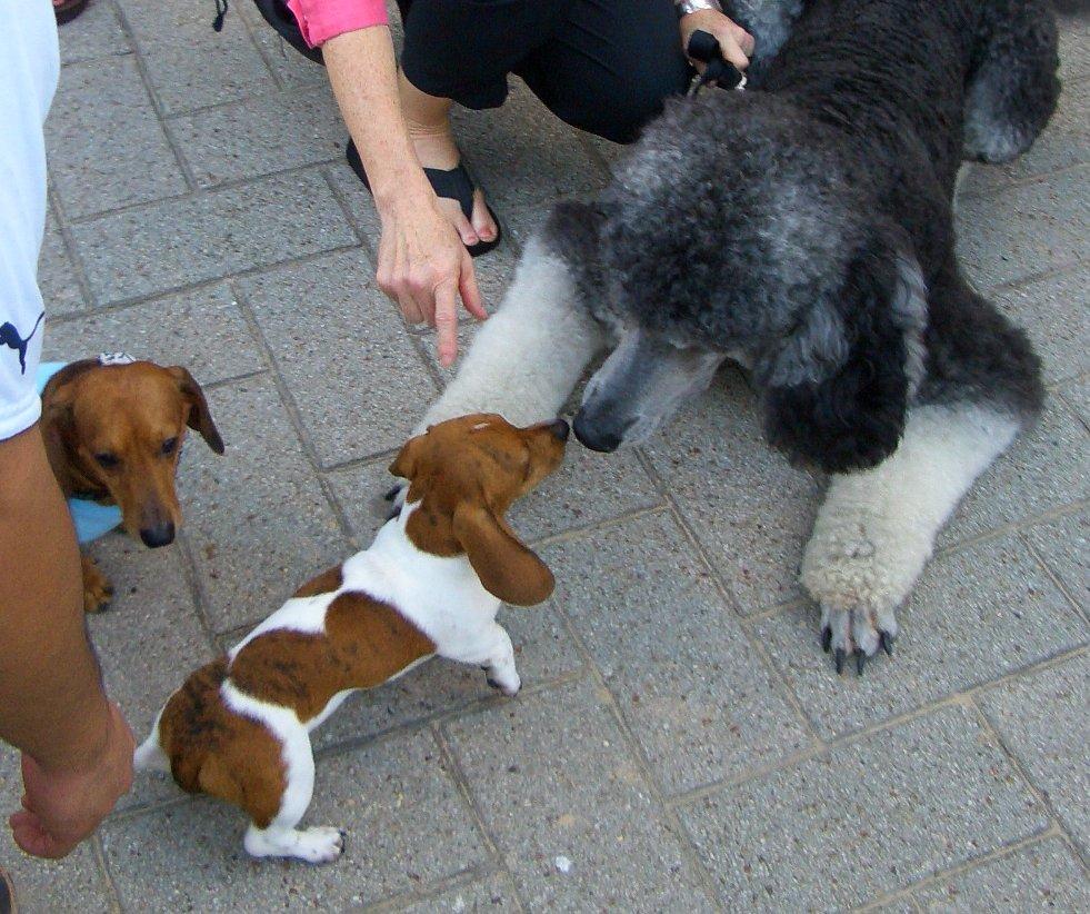 PoodleInTheCity.com: Photos Of Wiener Dog Race Day