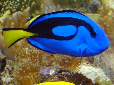 Ikan Tercantik Dii dunia