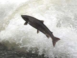 El salmón básico en la alimentación de estas tribus