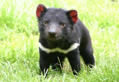 Resultado de imagen de demonio de tasmania curiosidades