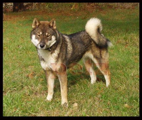 Shikoku Inu Shikoku Dog Shikoku Inu Kochi Ken