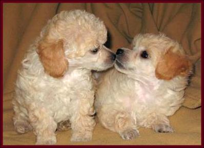 Poodle Dog Puppies