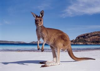 O que significa em inglês canguru