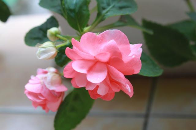 Flor rosada  colgando.