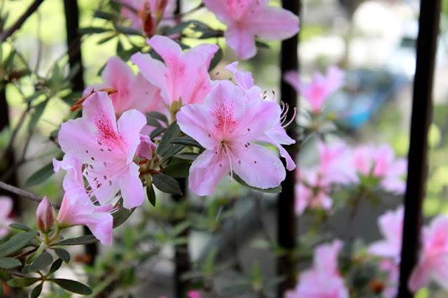 Flores de Azalea