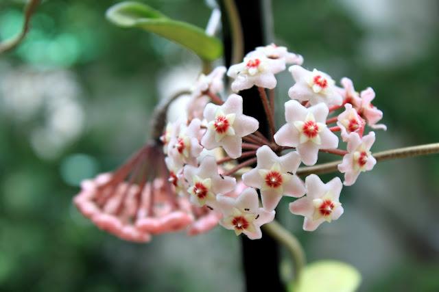 Flores de Clepia