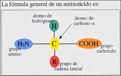 1 2 1 1 Aminoácidos Estructura Clasificación Propiedades