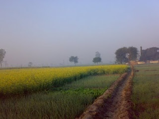 Mustard Fields of Sardar Farms in Jalkheri village
