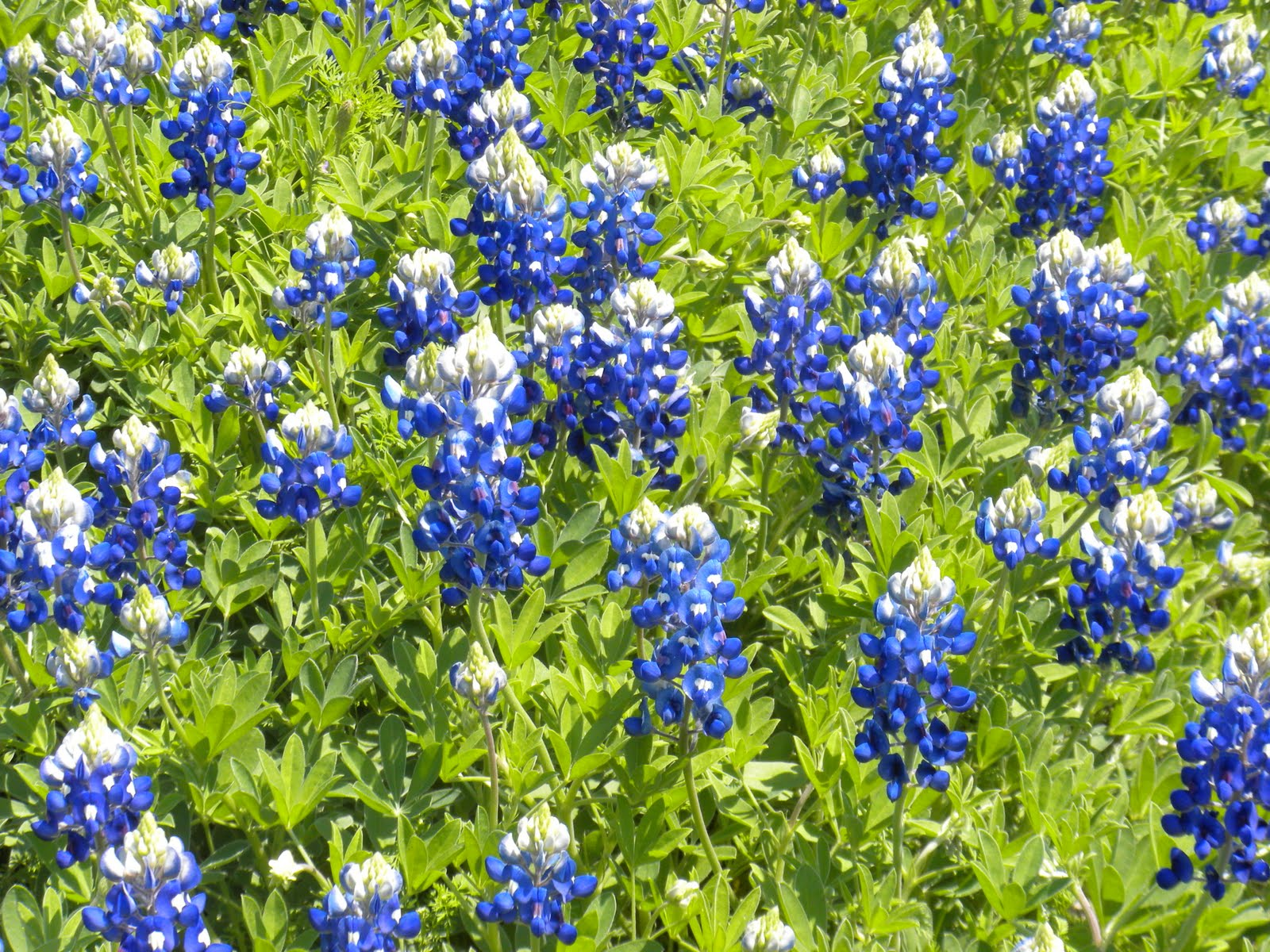 Poinsettia Flower Dogs Cowgurl's Blessing: Bluebonnet Time In Texas