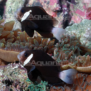 The Clownfish ID Thread - Page 2 - Shark & Ray Central |Mccullochi Clownfish
